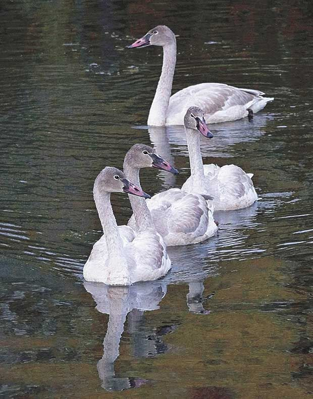 Spotted-Swans.jpg