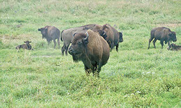 Prairie bison tour highlights Minnesota's pure-blooded herd
