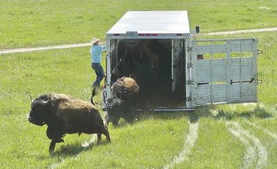 Bison released at Belwin Conservancy