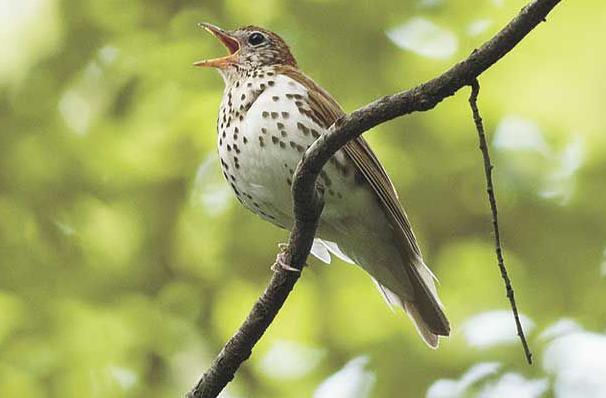 Choosing shade-grown coffee supports Minnesota's birds