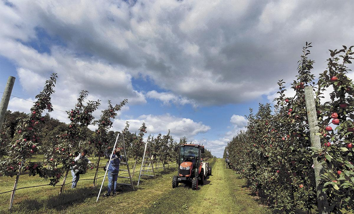 An apple orchard a day