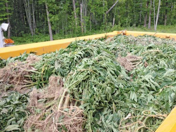 Marijuana plants worth $4m seized from 'plantation' | News ...