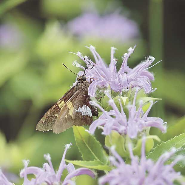 Silver-spotted-skipper-butterfly-on-wild-bergamot.jpg