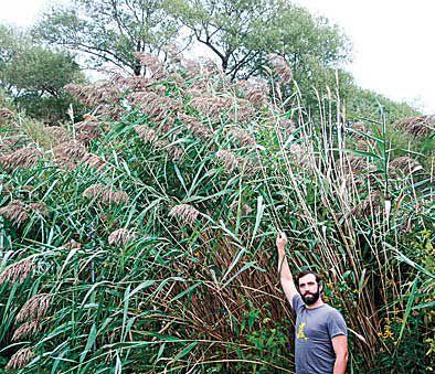 Non-native phragmites spotted in White Bear Lake