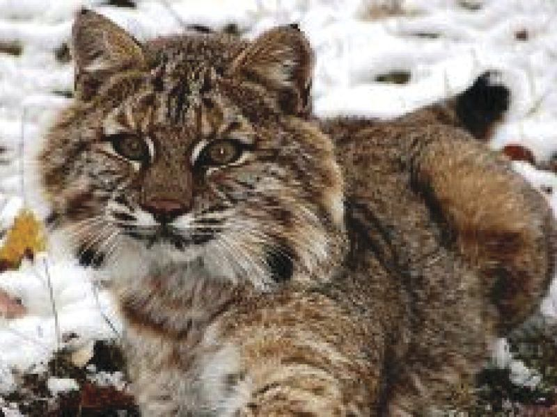 DEC Revising Permit Requirement for Bobcat Hunting, Trapping