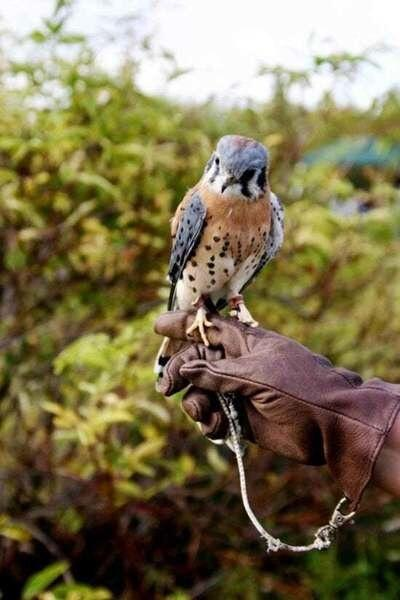DEC sets exams for falconry, wildlife rehabilitator, and leashed tracking dog licenses