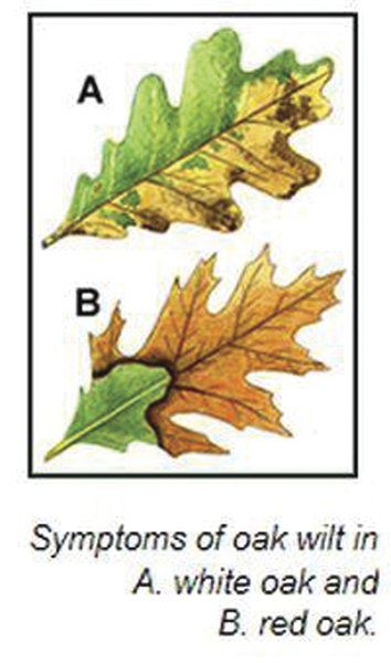 DEC: Report oak trees losing leaves