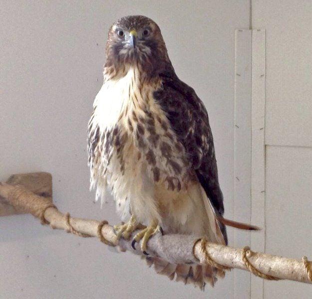 Helping hawk an emotional journey for Plattsburgh man