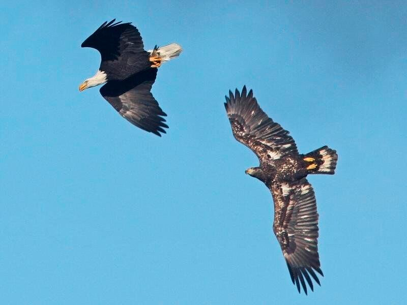 The bald eagle – A national and a New York state conservation success story