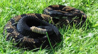 Adirondack rattlesnakes protected, isolated