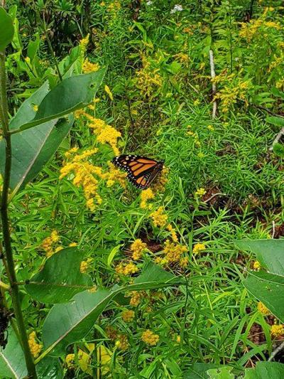 A Good Year for Monarch Butterflies