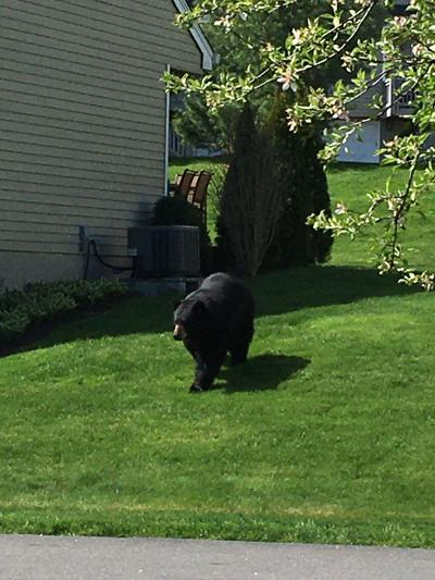 Black Bear Makes Cameo Appearance in Watertown