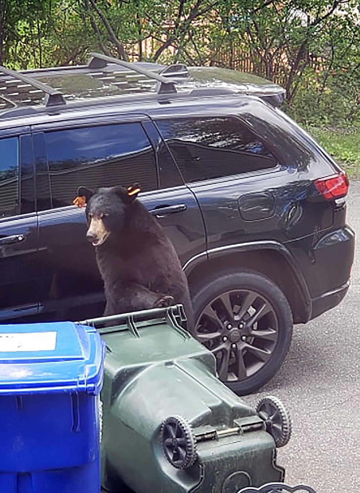 Thomaston: Black Bear Sightings on the Rise