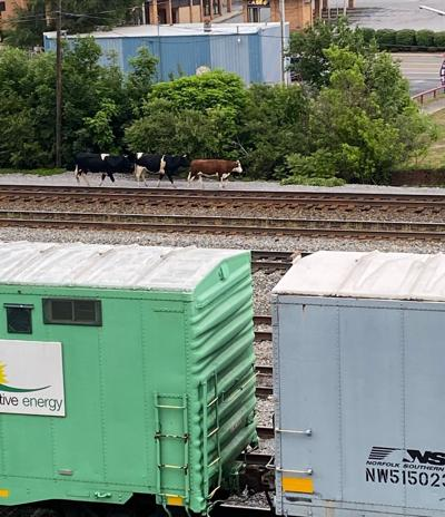 Cows on track