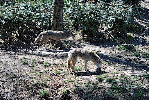 Coyotes killed near LaGuardia Airport - Queens Chronicle