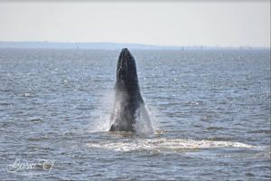 Whale watchers have a Queens connection 1