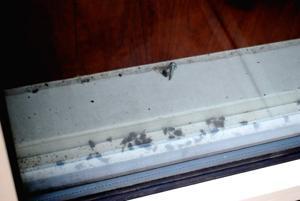 Dead flies on windowsill of Jamaica supermarket 1