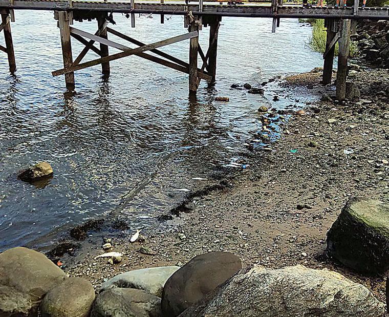 Sudden fish die-off in Little Neck Bay 1