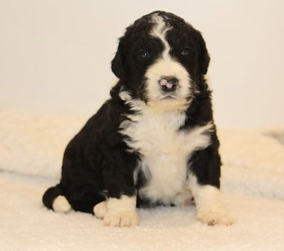 Adorable Bernedoodle Puppies For Adoption Dogs Qctimescom