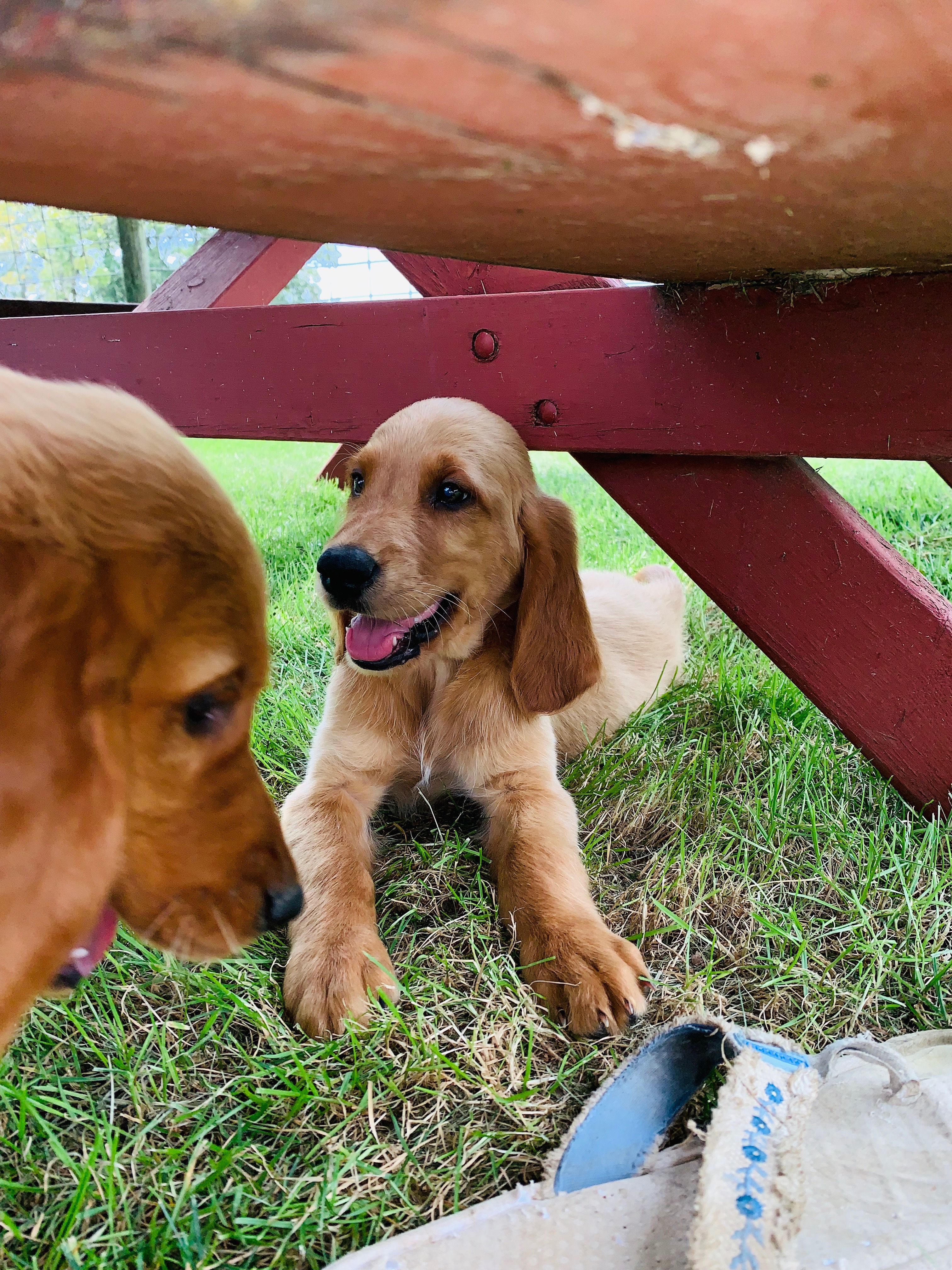 Irish Retriever Puppies image 1