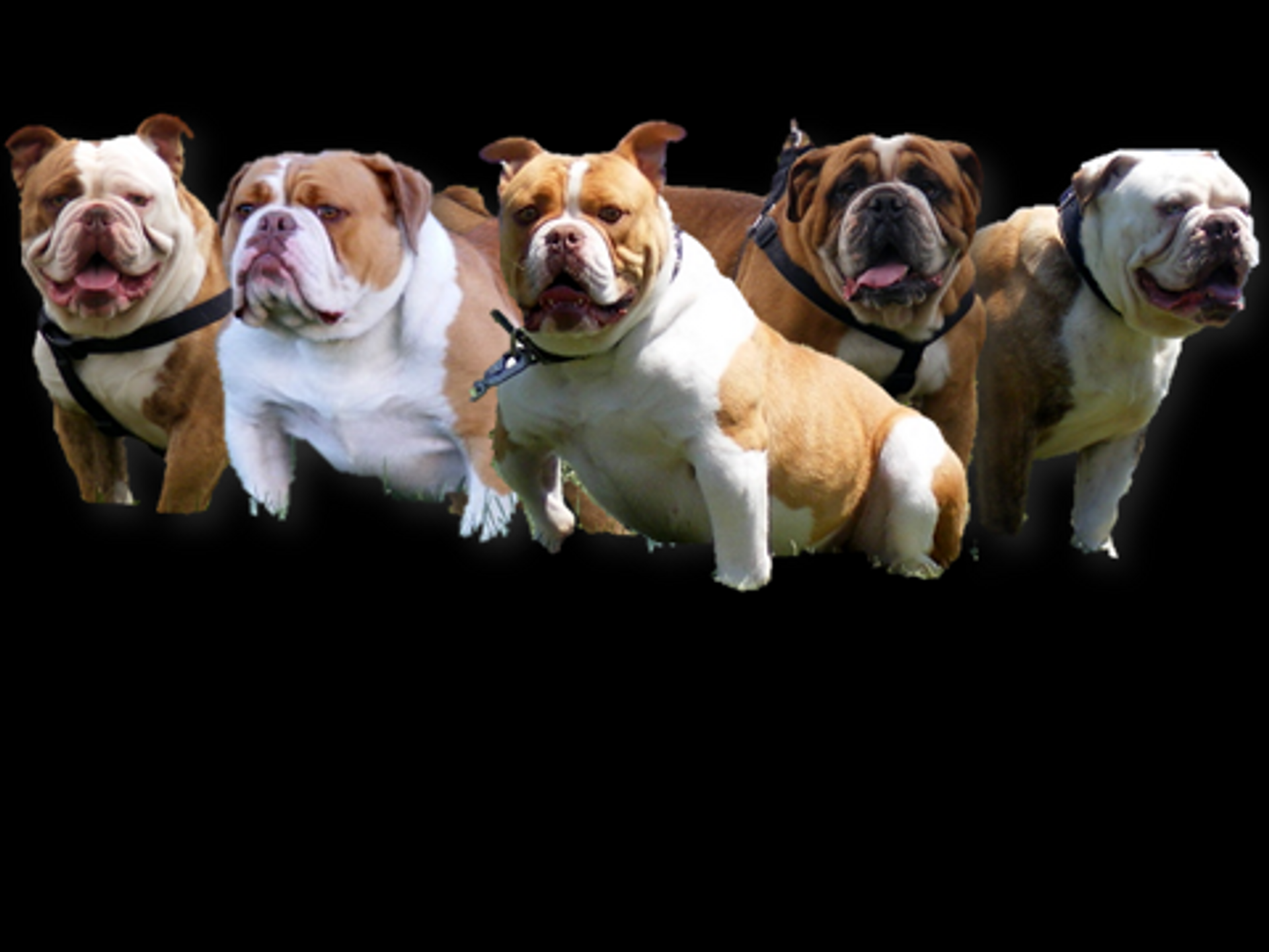 Old English Bulldog Puppies image 1