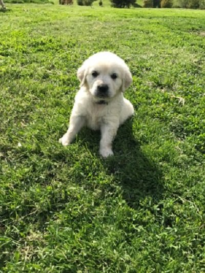 Golden Retriever puppies, AKC, all shots and wormed, health guaranteed.