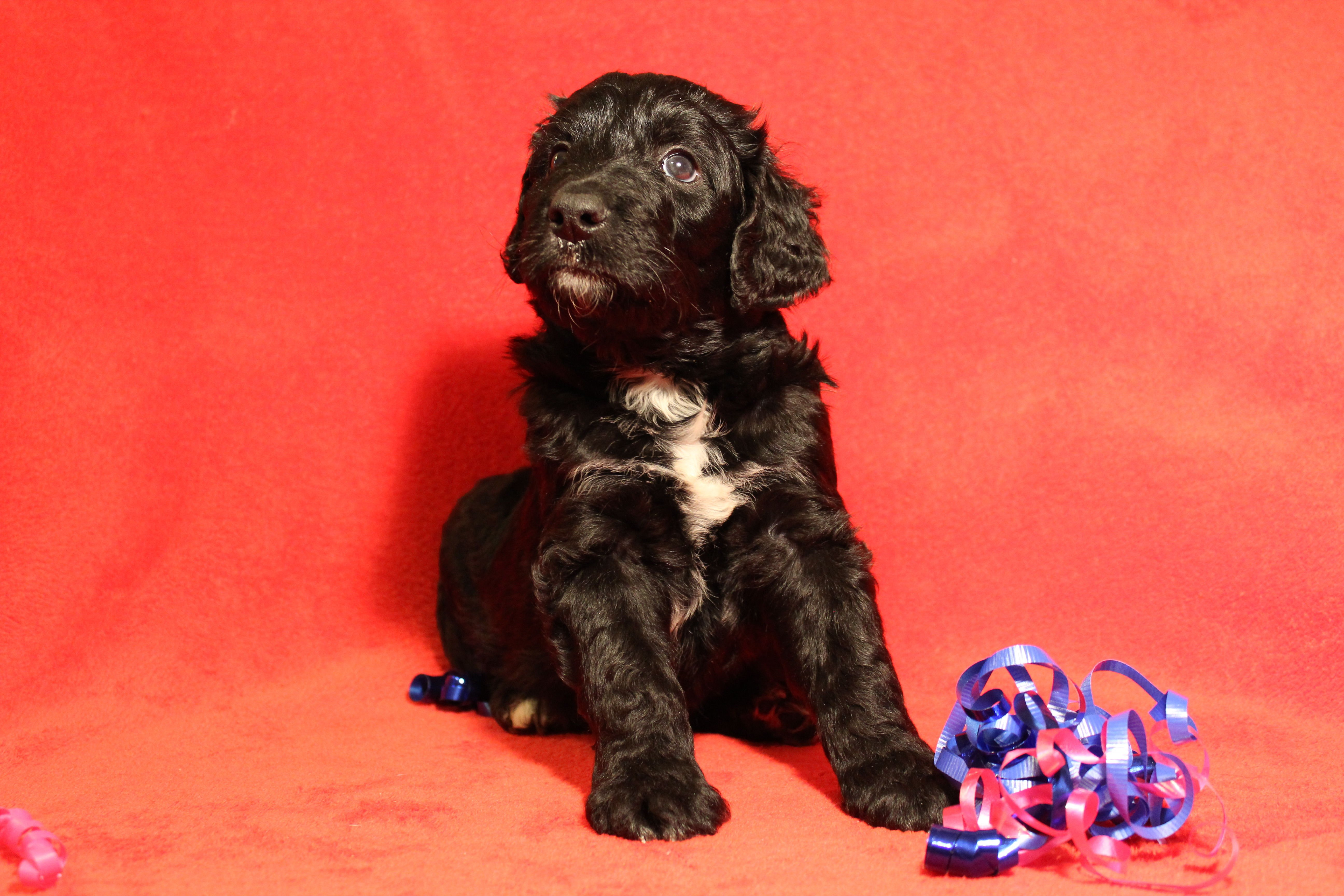 Puppies for Sale: image 1