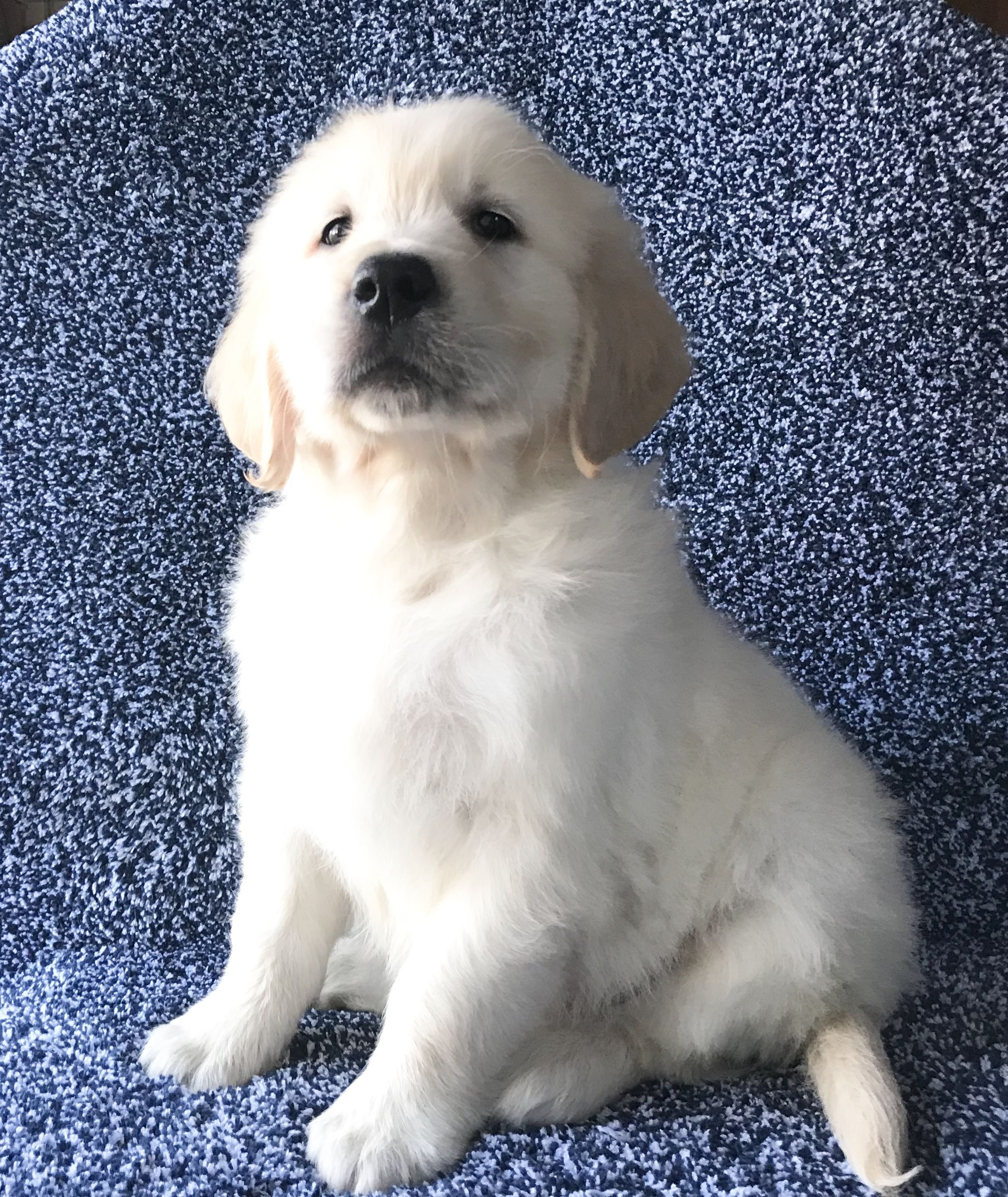 Akc English Creme Golden Retrievers image 2