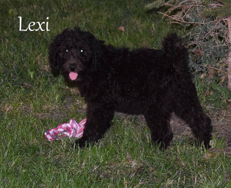 Labradoodle puppies image 1