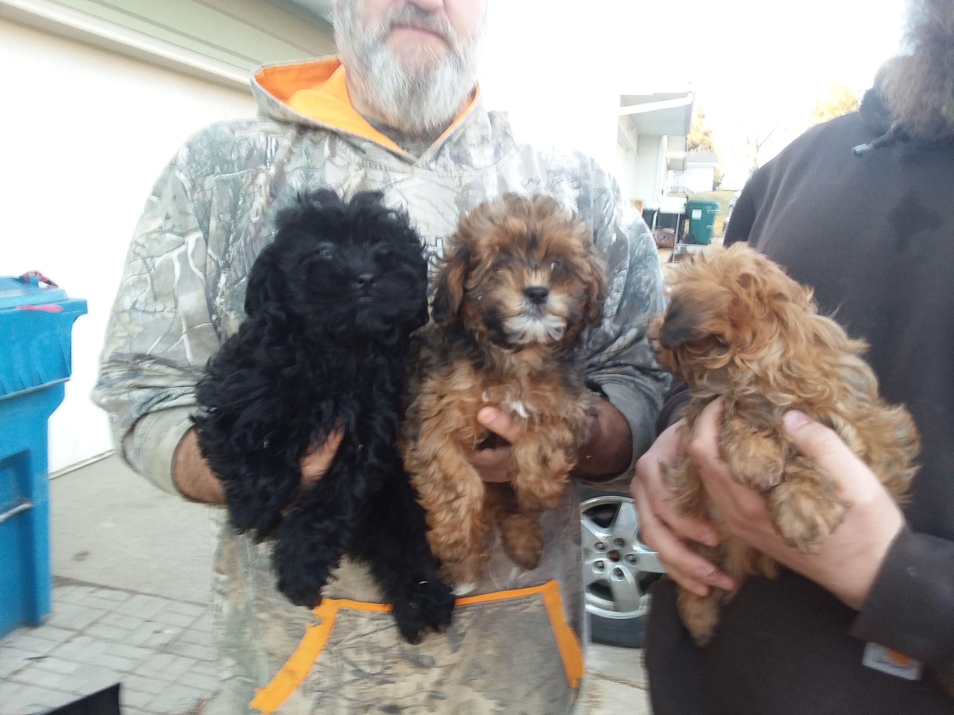 Shipoo Puppies image 1