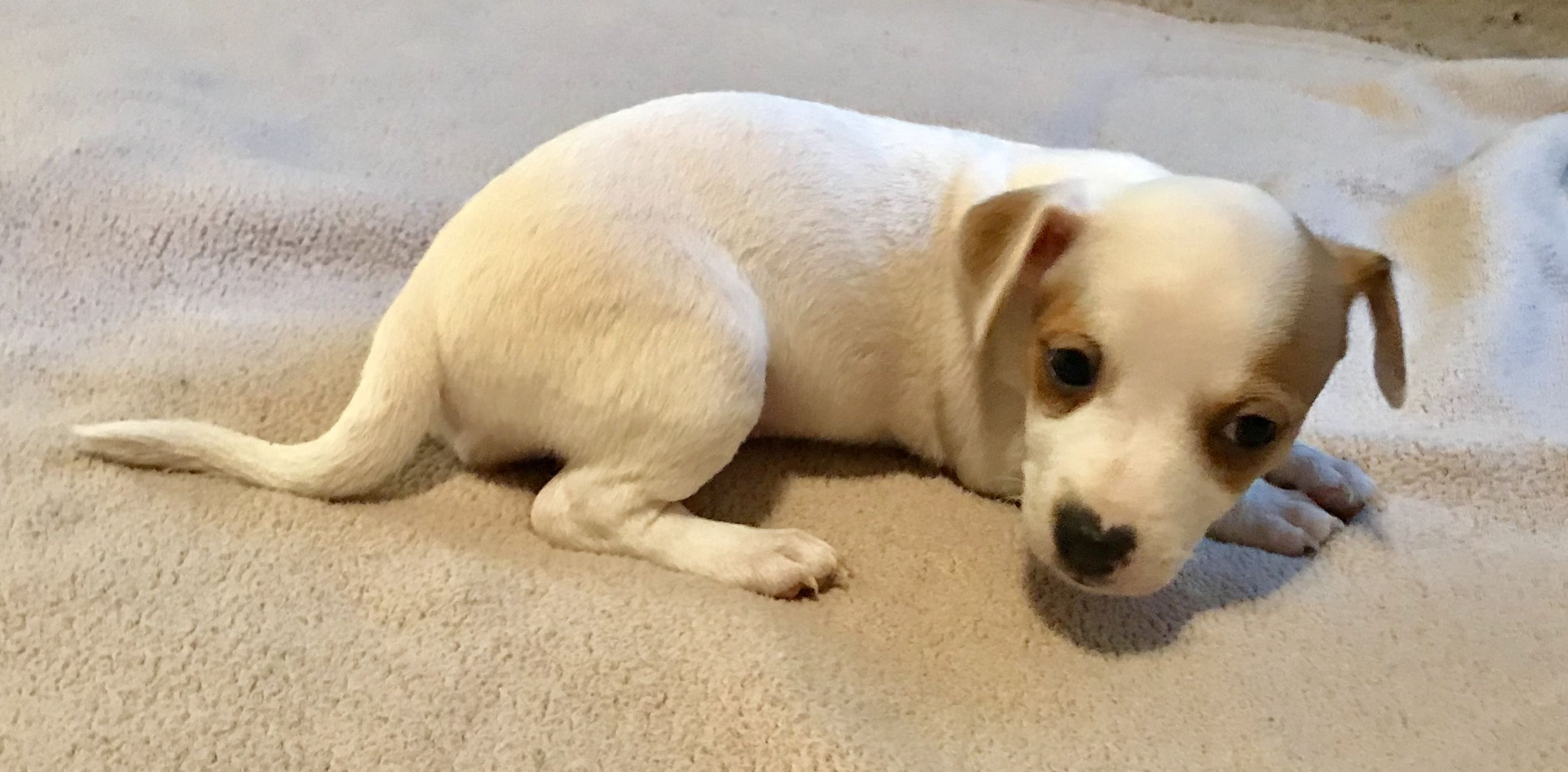 Jack Russell Puppies image 1
