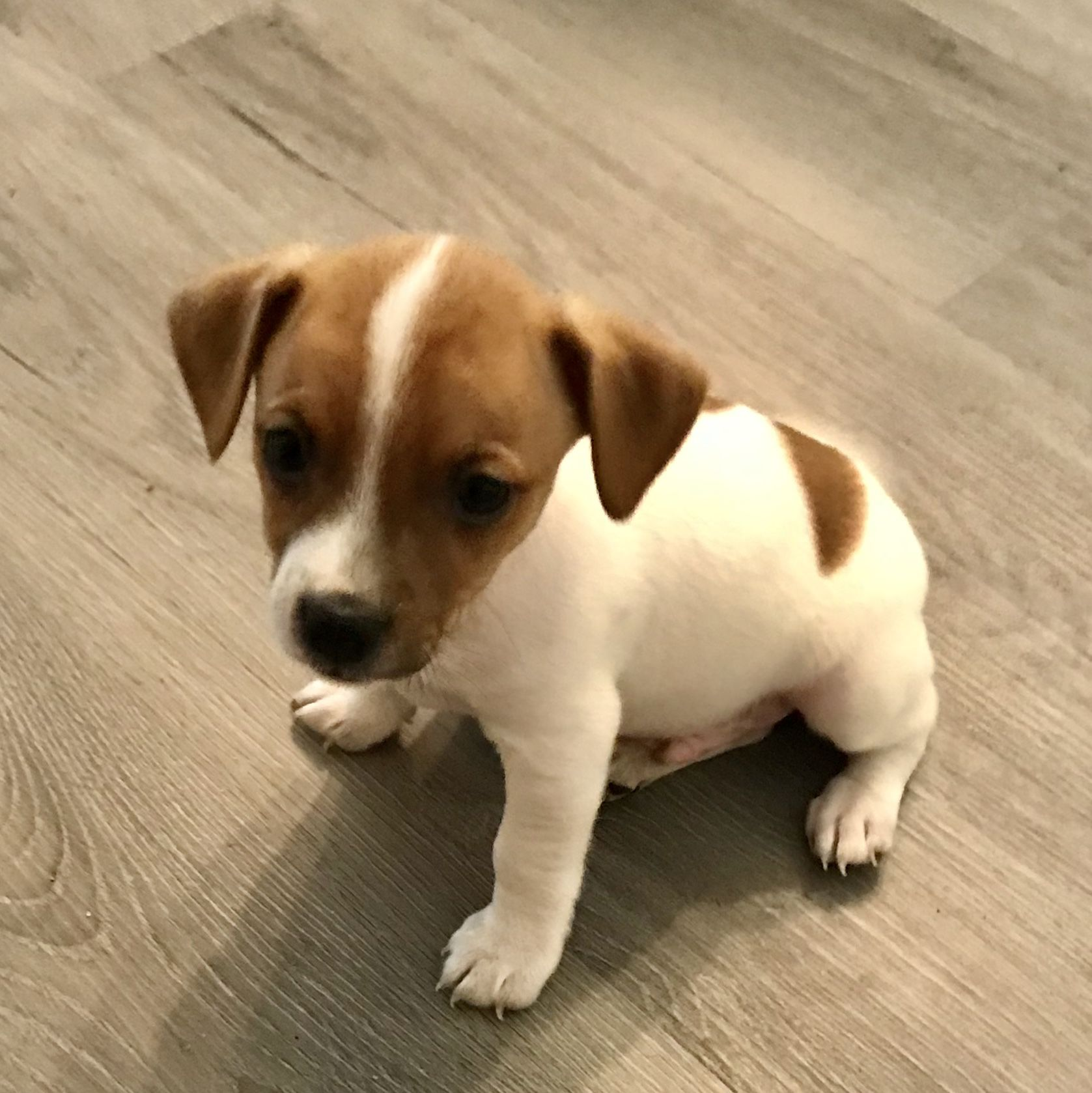 Jack Russell Puppies image 2