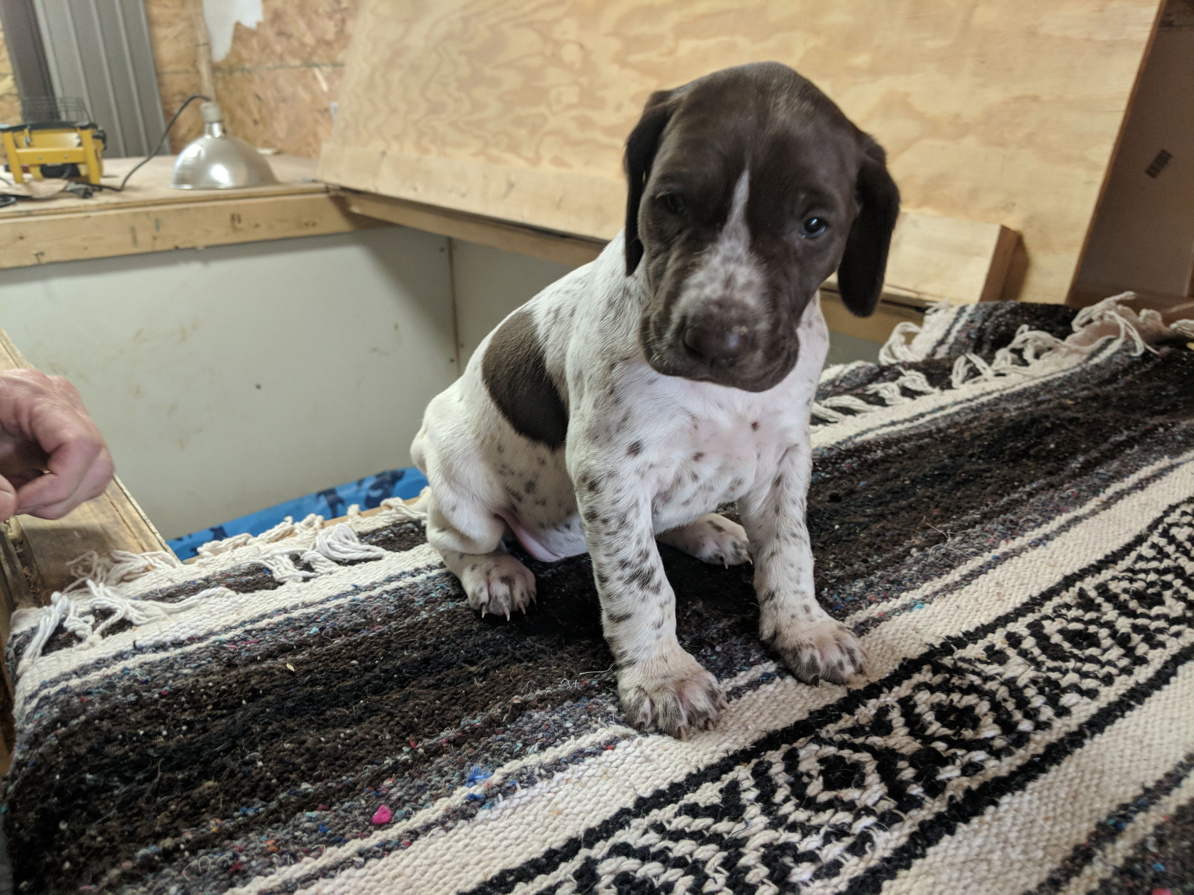 German Shorthaired Puppies image 1
