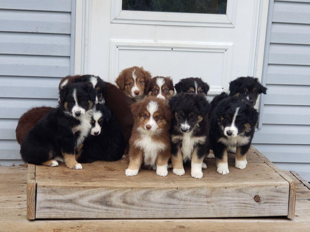 Australian Shepherd Puppies image 1