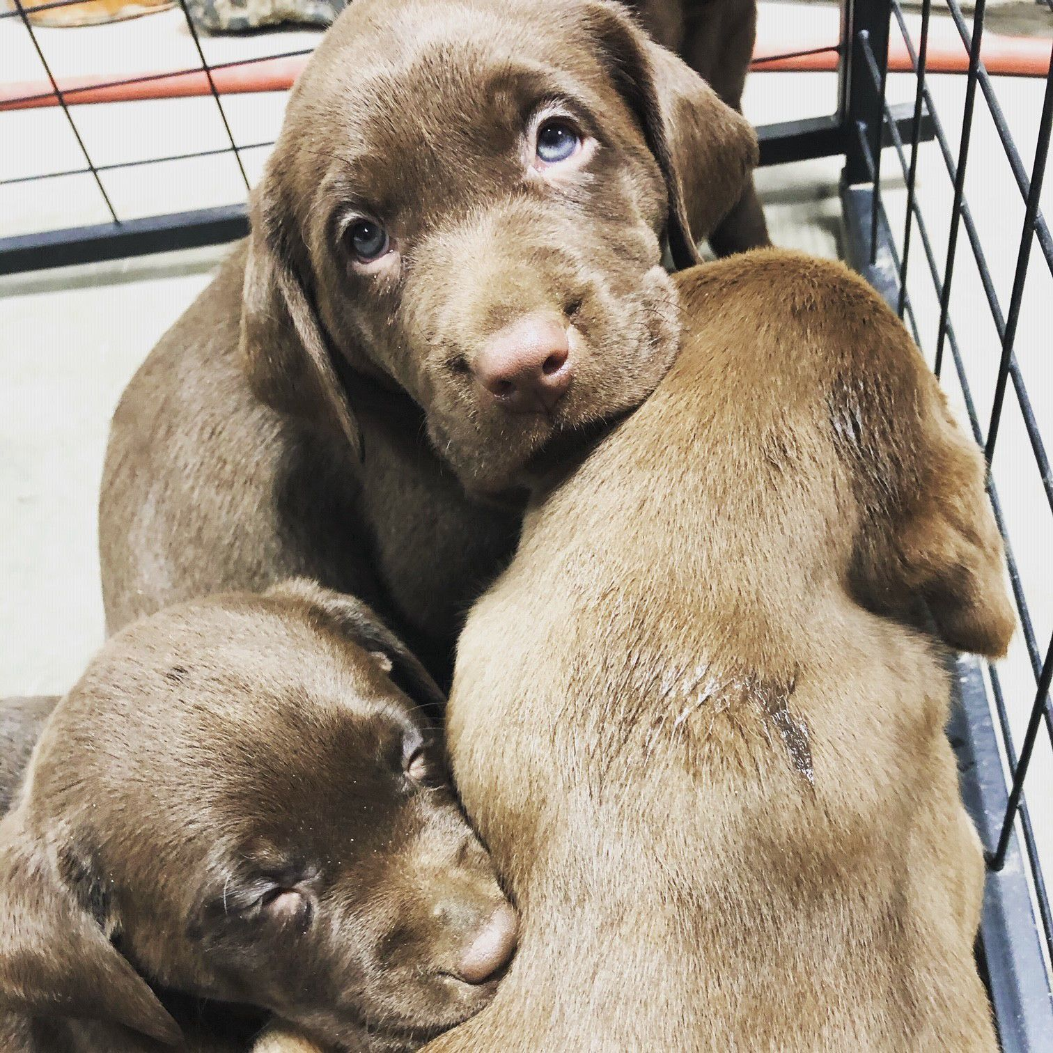 AKC Registered Chocolate Lab Puppies image 1