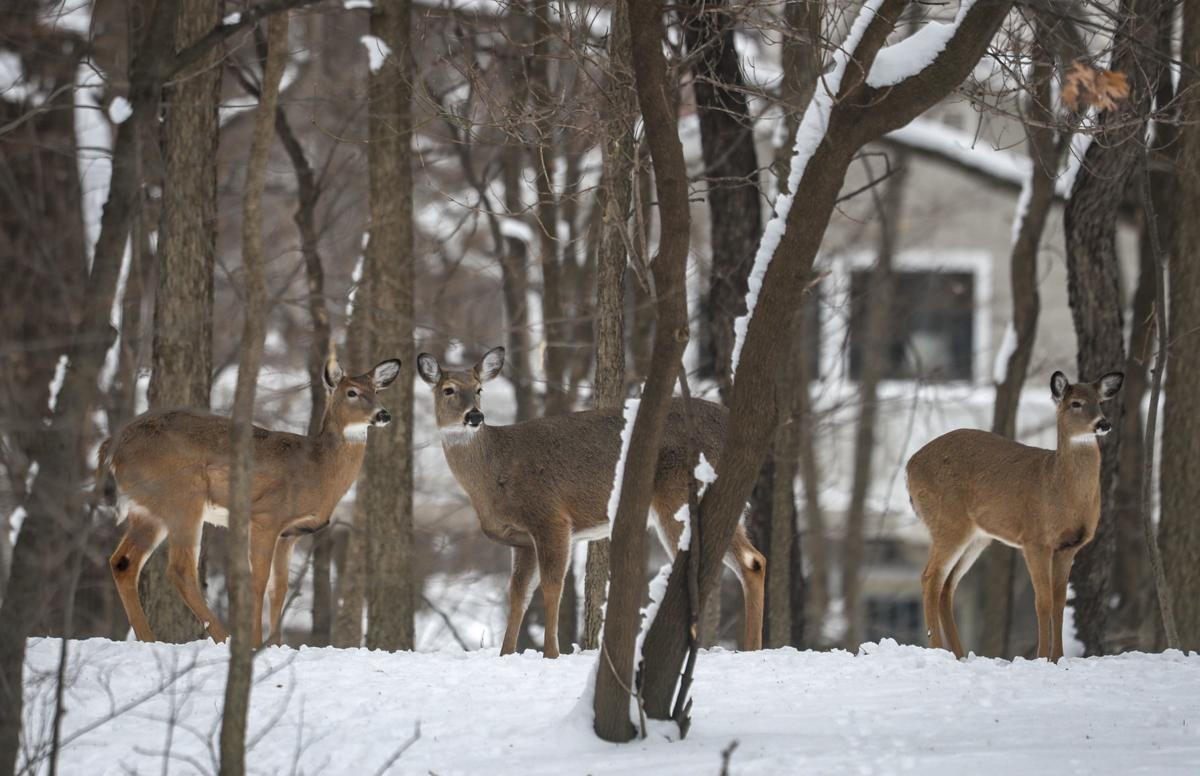 Urban deer hunt goal: Keep population in check | Local News
