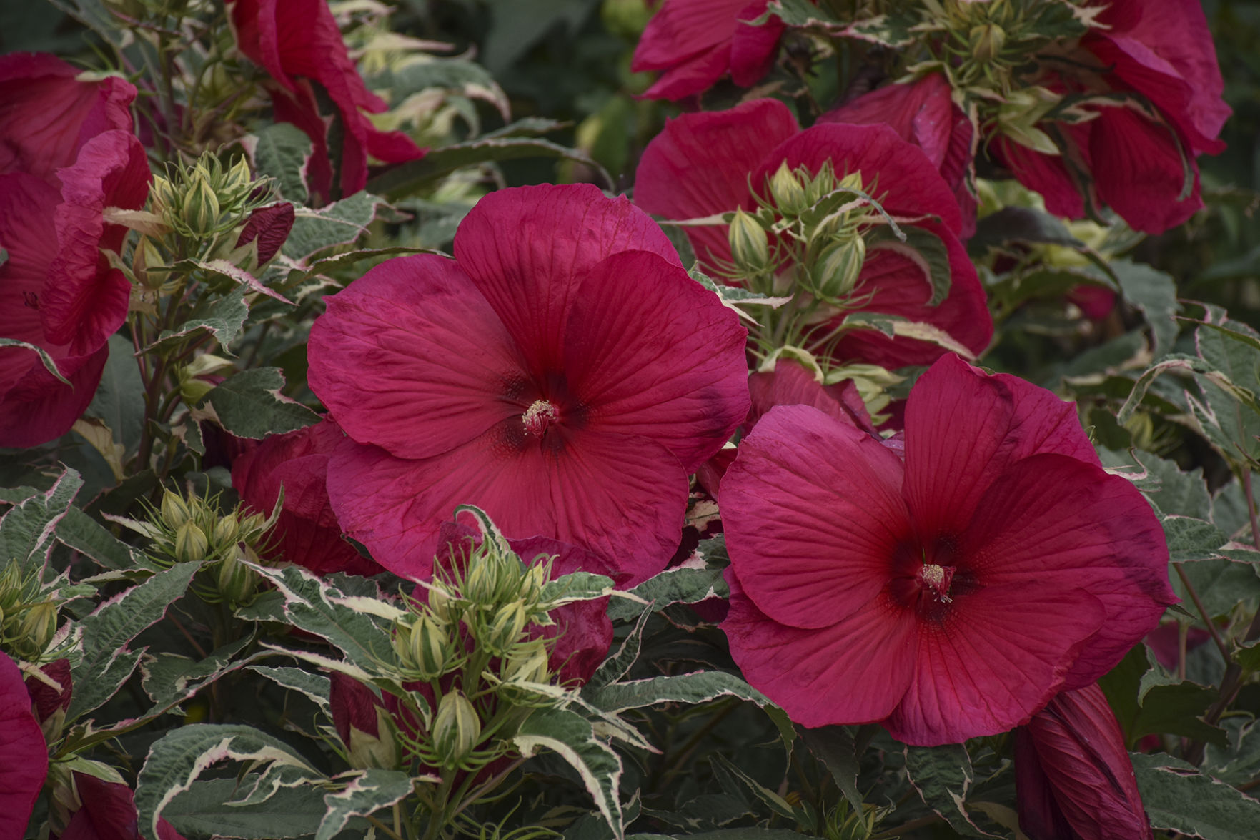 hibiscus two