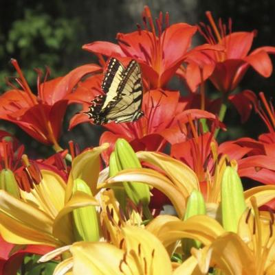 day lilies with butterfly