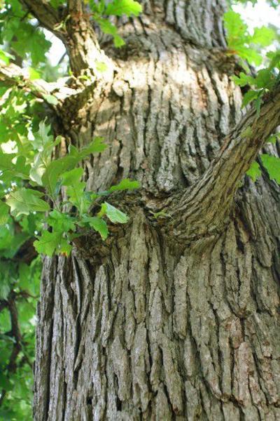 091113-trees-02 swamp white oak two