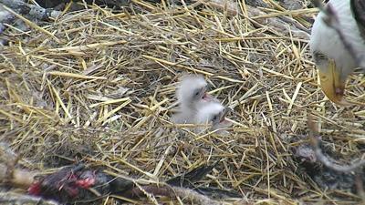 Eaglets hatched