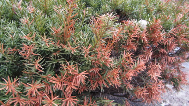 Give winter burned shrubs trees time to grow out home and garden - Tell tree dying order save ...
