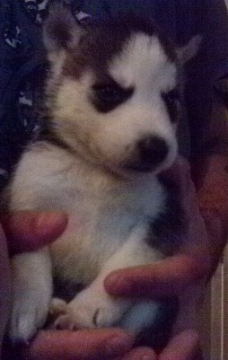 Siberian Husky Pups 3 Female 300 4 Male 250 Have 4blac Image 1