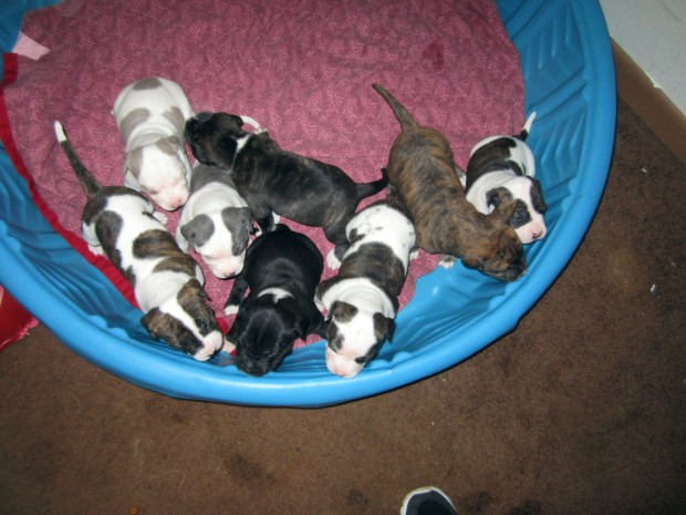Pitbull Puppies Blue And Tri Color Shots Wormed Home Raised