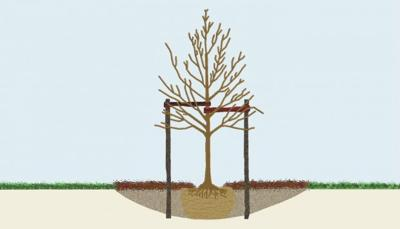 Planting a tree? Make sure the root flare is visible | Home and