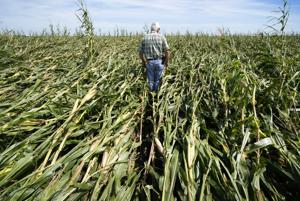 Wind storm removes 550,000 Iowa corn acres from harvest