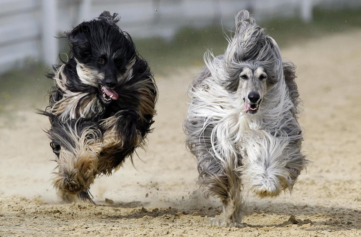 APTOPIX Britain Afghan Hound Racing