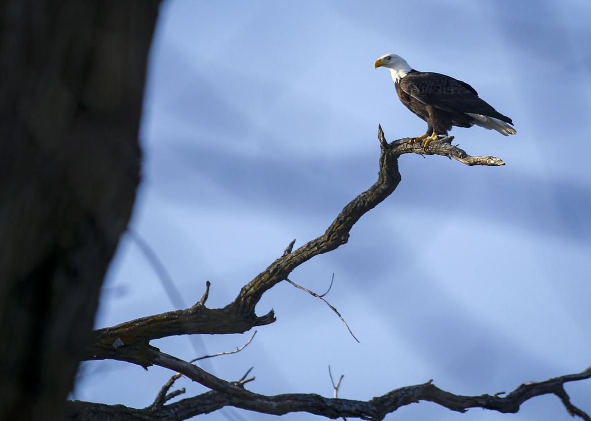 Bald Eagle Day Takes Flight In 5 Diffe Viewing Areas