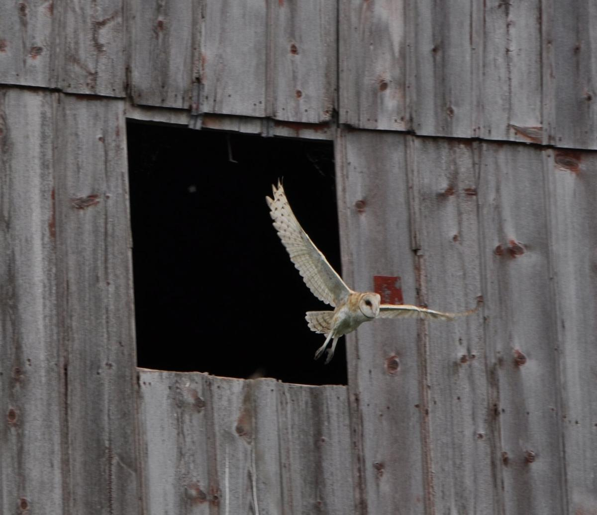 Barn owl is endangered in Iowa; state is trying to boost ...