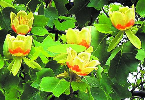 Wallaces Tree Tulips