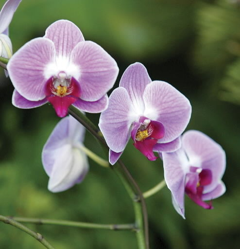 ORCHID SHOW IS MARCH 21-22 AT WALLACE\'S | Home and Garden | qctimes.com